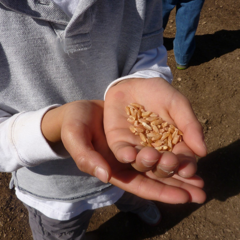 Child holding corn kernels in scholl garden